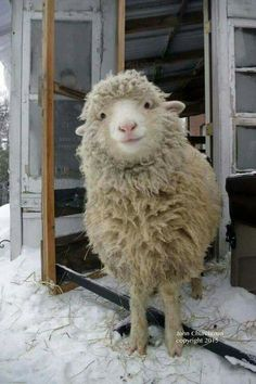 This is a cute sheep. A happy sheep. A fluffy sheep. A smiling sheep Cute Creatures, Beautiful Creatures, Animals Beautiful, Animals And Pets, Funny Animals, Cute Animals, Happy Animals, Baby Farm Animals, Animals Images