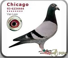 Pigeon crack Louis Van Loon - Poppel (BE) At the basis of spectacular performances in the pigeon sport worldwide! Racing Pigeons, Vans, Birds, Animals, Image, Pigeon Loft, Pigeon, Animales, Animaux