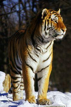 Siberian Tiger in its cold habitat.