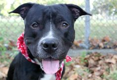 RETURNED AGAIN 10/6/16 AFTER 1 DAY!! THIS IS TOTALLY HEARTBREAKING !!! HAPPYTEARS ❤️❤️❤️ SAFE❤️❤️ 10/3/16❤️ PLEASE LOVE AND KEEP HIM FOREVER❤️❤️ RETURNED!! SUPER URGENT Manhattan Center MILLYROCK aka MIDNIGHT – A1064091 (ALT ID A1080775) ***RETURNED 07/10/16*** MALE, BLACK / WHITE, PIT BULL MIX, 1 yr STRAY – ONHOLDHERE, HOLD FOR ID Reason STRAY Intake condition EXAM REQ Intake Date 07/10/2016, From NY 10458, DueOut Date 07/17/2016,