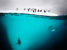 Gentoo and chin strap penguins swimming near Danko Island on the Antarctic Peninsula  Photograph: David Doubilet/Caters News Agenc