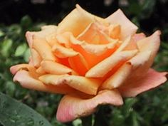 Apricot Rose in Seattle