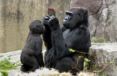 Gorilla plays with a DSi XL