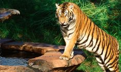 Maharajah Jungle Trek®Venture into the wilds of the mystical Anandapur Royal Forest of Southeast Asia, a land where you'll encounter majestic tigers, a Komodo dragon, wild bats, deer and more than 50 species of exotic birds amid ancient ruins and murals.