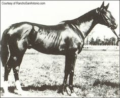 Domino sired Caps and Bells, the first US-bred to win the English Oaks, and Belmont Stakes winner and two-time Horse of the Year Commando, who in turn sired a number of top horses one of whom was hall of famer, Colin. Daughter Pink Domino was dam of Sweep, grandsire of War Admiral. Eight Thirty, War Relic, Mr. Busher, Buckpasser, and Intent's pedigrees heavily influenced by Domino. Today almost every speedy Thoroughbred and Quarter Horse race horse traces his or her lineage to this…