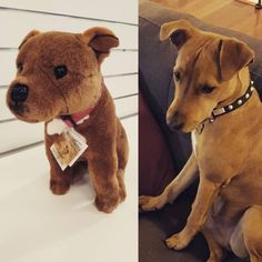A stuffed animal staffy that looks just like your real staffy baby. | 21 Products For Everyone Who Loves Pit Bulls
