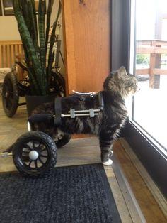 Lego, a cat, in his custom built Eddie's Wheels wheelchair. He was measured by the wonderful people at My Pet's Brace in Morgantown, PA.