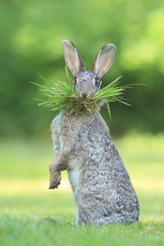 """What's up doc ?? by Olivier Colle on 500px """"My youngest daughter called for this Rabbit. He responded with a great looking funny pose and a mouth full of grass :) """""""