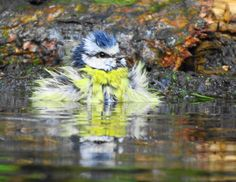 'Pimpelpunk' / Blue tit ~ Photo by Rob Edelman  | The most beautiful nature photos by 2014 | Natuurmonumenten