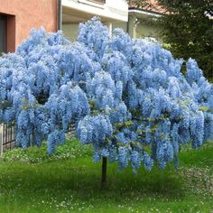 Blue Chinese Wisteria Tree | Naturehills.com Flowering Bushes, Spring Flowering Bulbs, Gardening For Beginners, Gardening Tips, Flower Gardening, Container Gardening, Wisteria Plant, Wisteria Garden, Wisteria Pergola
