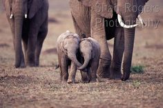 Two baby African elephants walking along together with trunks entwined (Loxodonta africana) Maasai Mara National Reserve, Kenya