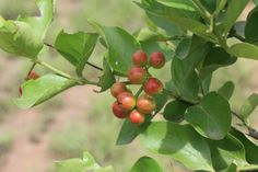 Carissa edulis is a spiny, small tree up to 5m high native in Arabia but distributed across tropical Africa to Indo-China. The fruits are sweet and pleasant to eat