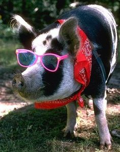 Happy National Pig Day: In A Pigs Eye- We are a little early here but March 1 is National Pig Day and we thought today we would investigate Pig Eye or Pig Vision