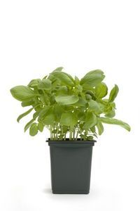 How to Plant Basil Indoors thumbnail