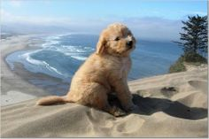i want this little guy <3 #goldendoodles