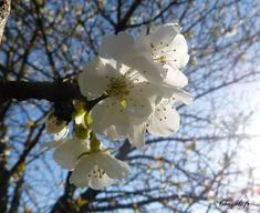 """""""Les cerisiers en fleur"""" Photographie printanière de Chagali"""