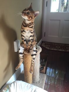 These cute kittens will brighten your day. Cats are fascinating creatures. Cute Kittens, Cats And Kittens, Kitty Cats, Funny Kitties, Pet Cats, Ragdoll Kittens, Funny Animal Pictures, Funny Animals, Cute Animals