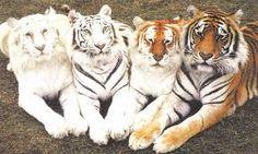 Resultado de imagem para animais albino
