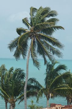Coconut palm trees in the Florida Keys.