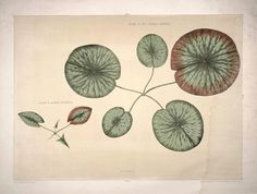 Front piece of a young gigantic water lily (Victoria Regia) by William Sharp Free Illustrations, Chromolithograph, Water Lilies Painting, Lily Images, Illustration, Painting Prints, Lily Painting, Illustration Wall Art, Wrapped Canvas Art