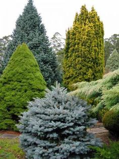 color with conifers... year round appearance