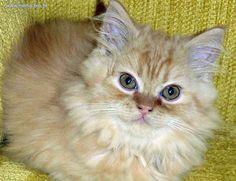 gato peludo e amarelo
