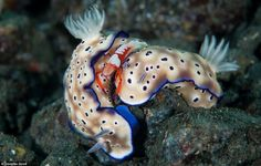 The second place macro picture was this image of emperor shrimp sat on top of two nudibranch molluscs.