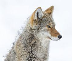"beautiful-wildlife: ""Coyote Profile by Daniel Parent """