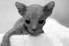 niedliche Kätzchen Donskoy Don Sphynx