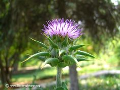 Flower pictures of milk thistle (Silybum marianum) flowers and plants. Beautiful milk thistle photos and images on this website! Flower Pictures, All Pictures, Milk Thistle, Holistic Healing, Most Beautiful, Rose, Flowers, Plants, Photos