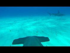 Прогулка по дну океана с помощью прикрепленной камеры к плавнику акулы-молот » Респект.su - Фото на любой вкус