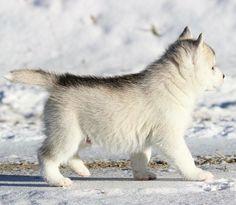 Husky Puppy, New Puppy, White Husky, Hunter Gatherer, 3 Month Olds, Siberian Huskies, Wolves, Arctic, Dog Breeds