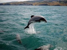 The last 55 Maui dolphins face extinction unless something is done RIGHT NOW