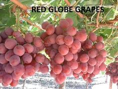 RED GLOBE GRAPES 4 FRESH CUTTINGS