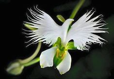 Cheap plant garden seeds, Buy Quality planting seeds indoors directly from China seeds home Suppliers: Japanese Radiata Seeds White Egret Orchid Seeds World's Rare Orchid Species White Flowers Orchidee Garden & Home Planting Strange Flowers, Unusual Flowers, Unusual Plants, Rare Flowers, Exotic Plants, Amazing Flowers, Beautiful Flowers, Flowers Pics, Send Flowers