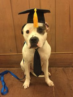 Norman just passed his Certified Therapy Dog test! (/r/dogswearinghats) Big Dogs, Cute Dogs, Animals And Pets, Cute Animals, Dog Test, American Pitbull, Little Brothers, Cute Dog Pictures, Therapy Dogs