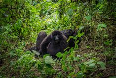 There are only three countries in the world where you can see wild mountain gorillas: Uganda, Rwanda and the Democratic Republic of Congo. I had already decided to visit Virunga… Congo Rainforest, African Rainforest, Ghana Art, Silverback Gorilla, Belgian Congo, Gorilla Trekking, African Colors, Africa Destinations, Continents