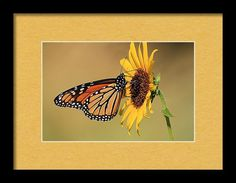Nature Framed Print featuring the photograph Monarch Butterfly On Sun Flower by Sheila Brown