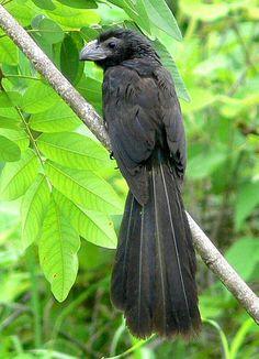 Ани (Crotophaga ani). Строят на  деревьях большие гнёзда, в которые несколько самок откладывают свои яйца(до 30 яиц). Гнездящиеся пары чередуются во время высиживания и вместе заботятся о молодых птицах.