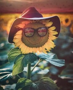 🌻🌻🌻🌻😎🌻🌻🌻🌻 ➖➖➖➖➖➖➖➖➖➖➖➖ 📷Photo By: 🌟 ➖➖➖➖➖➖➖➖➖➖➖➖ ⏩keep loving Nature❤⏪ 📲Send Your Pics to us! 🌟Use hashtag 》 《 🚩 🔖Tag or DM your Favourite shot to publish on our page! Sunflower Pictures, Sunflower Art, Pictures Of Flowers, Sunflower Fields, Sunflowers And Daisies, Yellow Flowers, Sun Flowers, Growing Sunflowers, Sunflowers Background