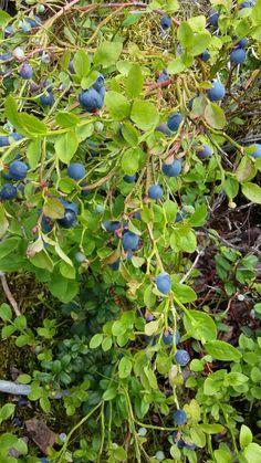 Mustikka, Vaccinium myrtillus, Blueberry
