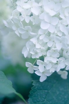 カメラと歩く | 紫陽花 Flowers Nature, My Flower, Pretty Flowers, White Flowers, Flower Art, Flower Phone Wallpaper, Nature Wallpaper, Images Esthétiques, Beautiful Flowers Wallpapers