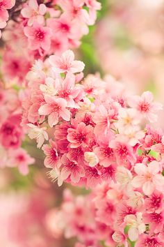 Japanese cherry blossoms, Sakura 桜 spring is coming Bloom, My Flower, Beautiful Flowers, Flowers Nature, Tropical Flowers, Flower Art, Planting Flowers, Flowers Garden, Japanese Cherry Blossoms