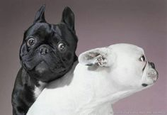 Black & White French Bulldogs.