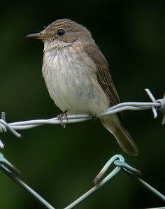 Muchołówka szara (Muscicapa striata) – gatunek małego ptaka z rodziny muchołówkowatych (Muscicapidae).