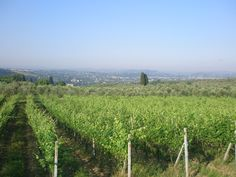 Rows of Sangiovese vines