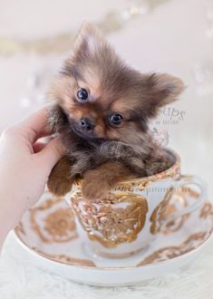Tiny Teacup Pomeranian puppies available in our store.Your Micro Teacup Pomeranian puppy is conveniently small and cute. Find your tiny Pomeranian ur boutique. White Pomeranian Puppies, Pomeranian Facts, Teacup Pomeranian, Teacup Puppies For Sale, Dogs And Puppies, Baby Tea, Lap Dogs, Blue Merle, Beautiful Dogs