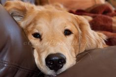 Settling into the sofa for a nap--Something so special about that little golden face when it looks at you!!!!