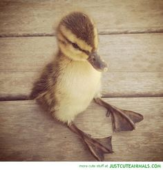 Duckling That Sits Like A Human