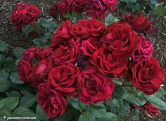My favorite! Flower Meanings, Wisteria, Love Flowers, Beautiful Roses, Red Roses, Cabbage, Flora, Stuffed Mushrooms, Wreaths